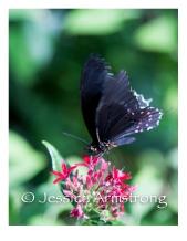 Butterflies-06