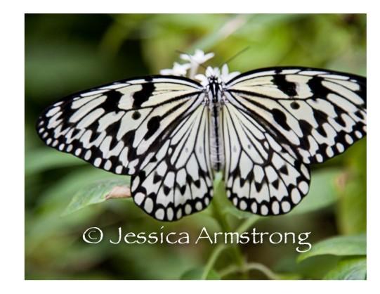 Butterflies-11