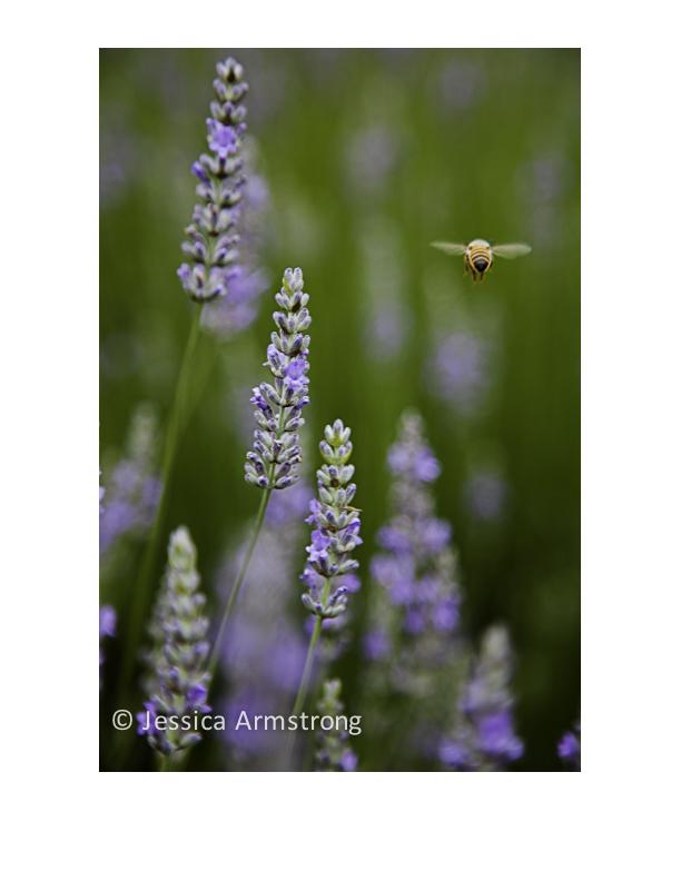 LavenderBee2